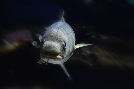 Cod, Barb, Fish, Swim, Water, Seabed, Sea, Creature