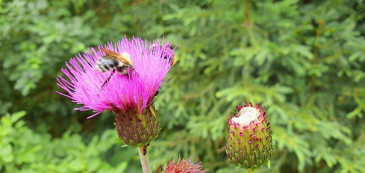Thistle, Bee, Flower, Violet, Summer, Purple, Macro