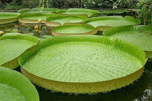 Giant Water Lily, Santa-cruz, Victoria Cruziana
