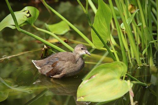 Water Bird, Grünfüßiges Pond Chicken, Ralle, Chicks