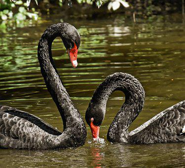 Swan, Black, Pair, Water Bird, Elegant, Lake, Animal