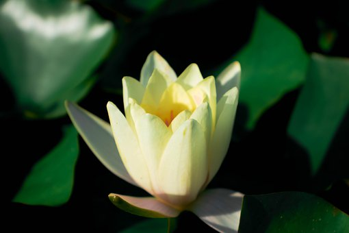 Water Lilies, Lotus, Water, Flower, Pond, Nature