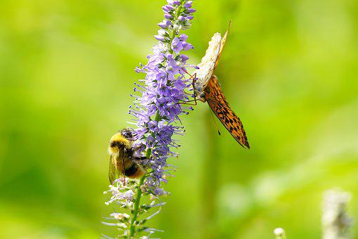 Wildflower, Butterfly, Mountin, Flower, Wild, Nature