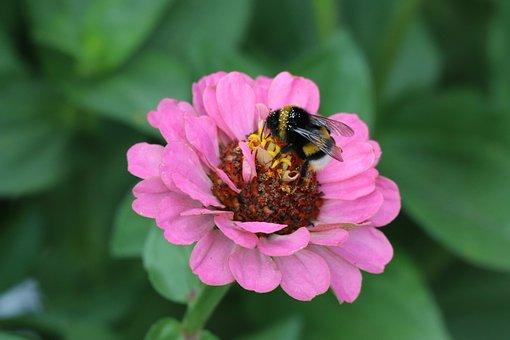 Zinnia, Common Zinnia, Flower, Bee, Beetle, Honey