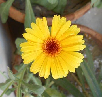 African Marigold, Yellow Flower, Marigold, Flower