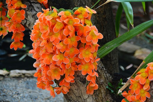 Flower, Tropical, Asia, Thailand, Orange, Pansy