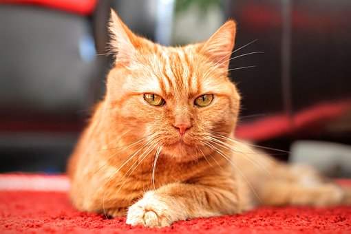 Cat, Attention, Focused, Red Cat, Kitten, Pet, Red