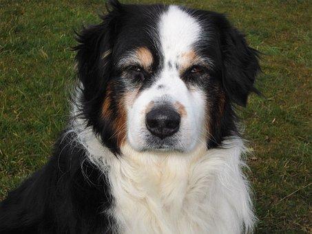 Dog, Australia Shepard, Black White Brown, Older