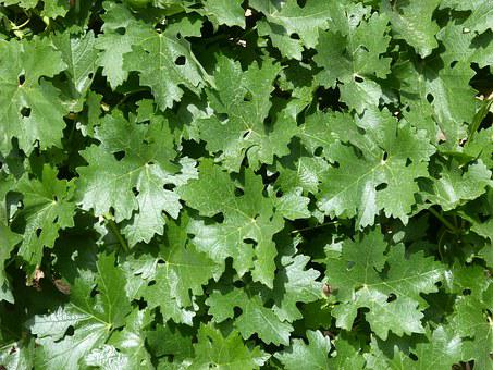Leaves, Vine, Parra, Background, Carpet Of Leaves