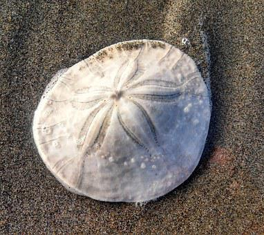 Sand Dollar, Sanddollar, Beach, Sand, Sea Star, Trail