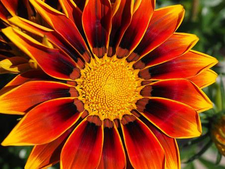 Gazanie, Blossom, Bloom, Flower, Yellow, Red, Gazania