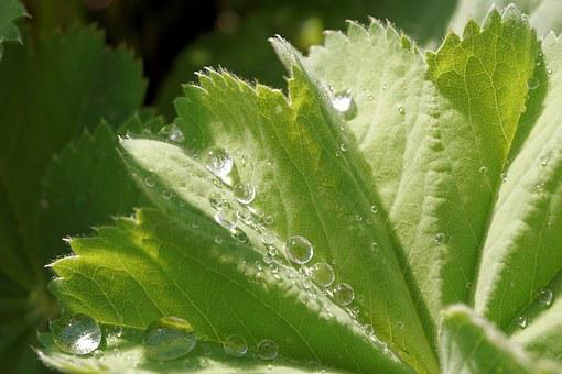 Leaf, Drip, Water, Drop Of Water, Rain, Dew, Close