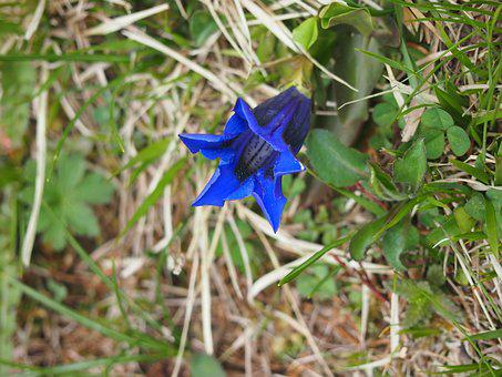 Gentian, Blue, Bells Gentian, Flower, Alpine Flower