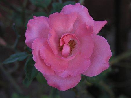 Flower Carpet Rose, Flower, Nature, Rose, Pink