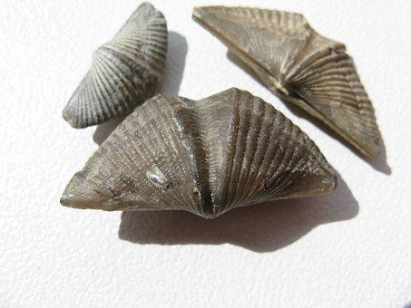 Brachiopods, Mussels, Brachiopoda, Fossils, Extinct
