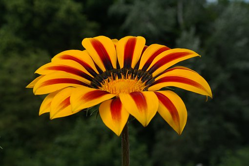 Gold Noon, Ice Plant, Noon Gold Flower, Gazania, Flower
