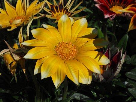 Gazanie, Blossom, Bloom, Flower, Yellow, Gazania