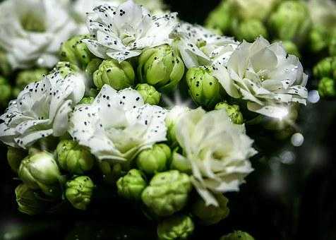Kalanchoe, Blossom, Bloom, White, Glitter, Christmas