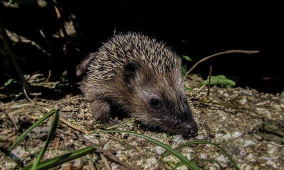 Hedgehog, Hiding, Garden, Green, Wild, Cute, Grass