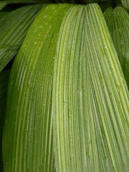 Leaf, Rip, Ribbed, Green, Curculigo Capitulata