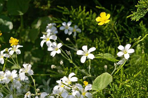 Cerastium Tomentosum, Ground Cover, Stone Bedding Plant