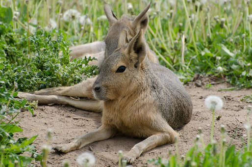 Close-up, Gorgeous, Muzzle, Mammal, Spring, Hare, Brown