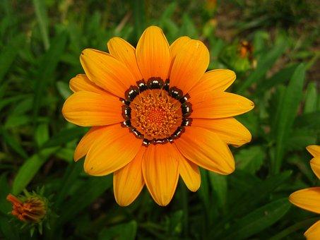 Geäugte Gazanie, Gold Noon, Ice Plant, Blossom, Bloom
