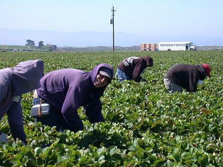 Ingathering, Strawberry, Hardwork, Field, Farm, Latinos