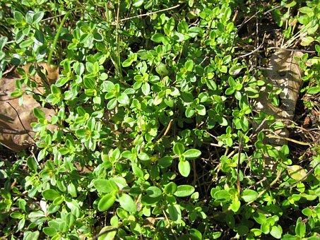Thymus Pulegioides, Broad-leaved Thyme, Lemon Thyme