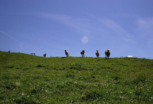 Tyrol, Gräner Annoy Alpe, Meadow, Horses, Wild