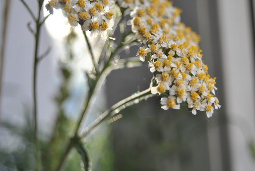 Yarrow, Medicinal Herbs, Healthy, Stomach, Digestion