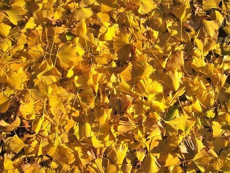 Gingko Tree, Maidenhair Tree, Yellow, Autumn