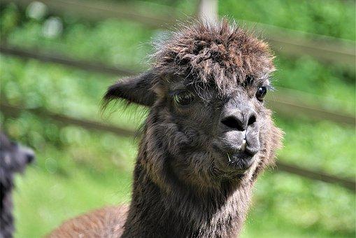 Alpaca, Close Up, Face, Head, Animal Portrait, Brown