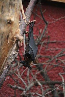 Bat, Chiroptère, Mammals, Night, Nocturne, Wild