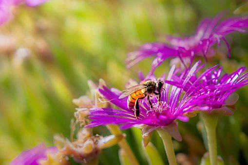 Bee, Blossom, Bloom, Insect, Honey Bee, Nature, Flower