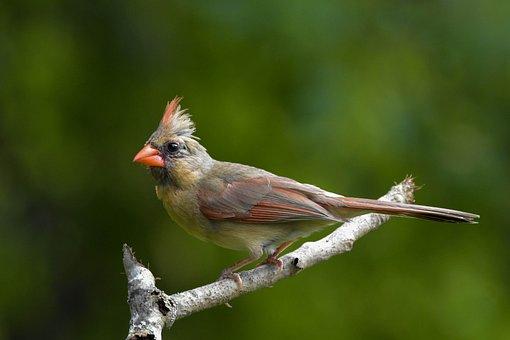 Bird, Female Northern Cardinal, Full-profile