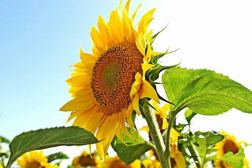 Sunflower, Summer, Yellow, Nature, Flower, Bloom, Sunny