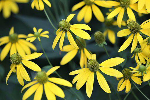 Arnica, Plant, Flower, Blooming, Yellow Petals, Summer