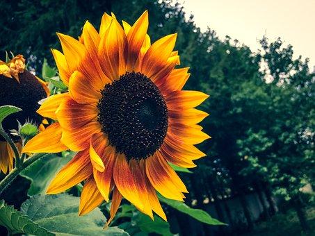 Sunflower, Summer, Garden, Flower, Yellow, Blossom