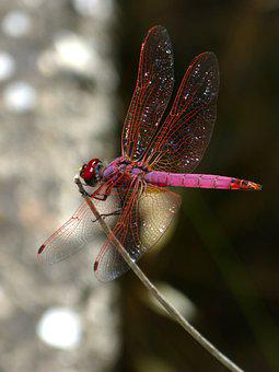 Red Dragonfly, Pipe Vinous, Annulata Trithemis, Branch