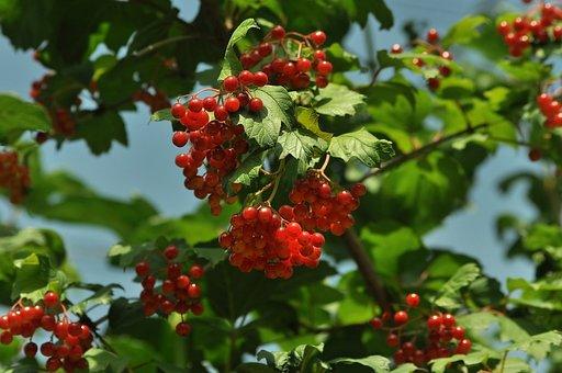 Viburnum, Red, Bush, Berry, Leaves, Plant, Therapeutic