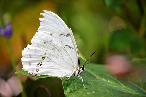 Butterfly, Large, Powdery White, Tropical, Exotic