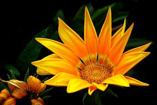Gazania, Flower, Nature, Garden, Macro, Closeup, Summer