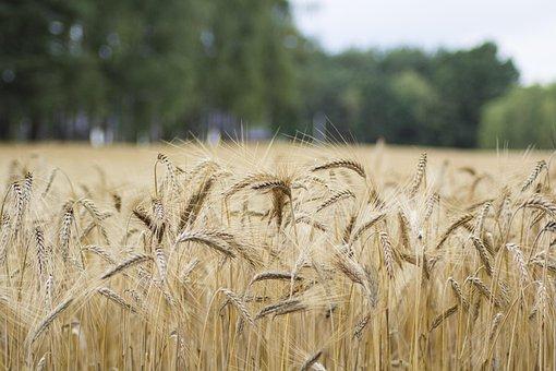 Corn, Field, Nature, Landscape, Village, Plant