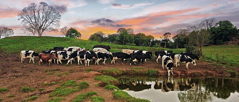 Cow, Farm, Nature, Animal, Milk, Bull, Countryside