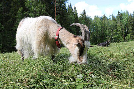 Goat, The Horns, Female, Culture, Countryside