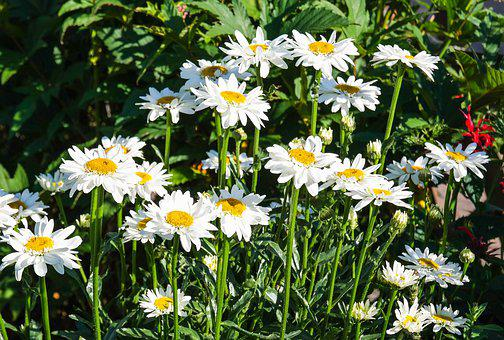 Daisies, Flowers, Perennials, Summer, Garden, Bloom