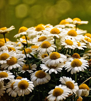 Daisies, White, Flower, Summer, Flowers, Bloom, Meadow