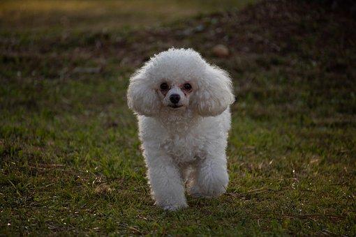 Dog, Poodle, Animal, Beautiful, Portrait, Pet, Green