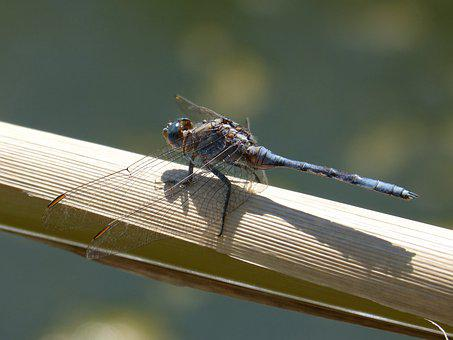 Dragonfly, Blue Dragonfly, Flying Insect, Branch